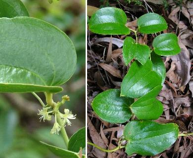 Smilax melastomifolia