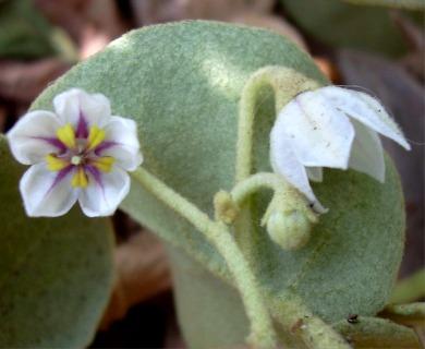 Solanum nelsonii