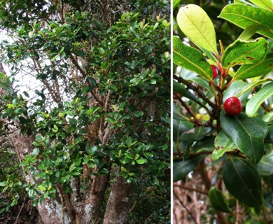 Syzygium sandwicense