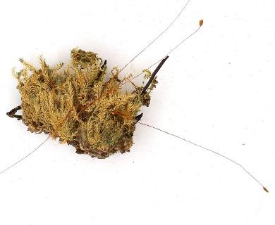 Taxithelium mundulum