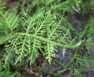 Thuidium cymbifolium