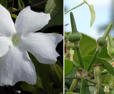 Thunbergia fragrans