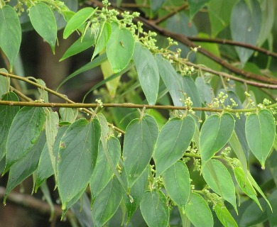Trema orientalis