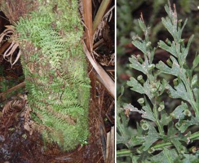 Vandenboschia cyrtotheca