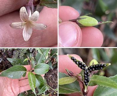 Viola chamissoniana