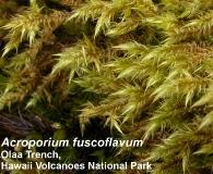 Acroporium fusco-flavum