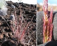 Agrostis sandwicensis