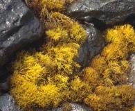 Ahnfeltiopsis concinna