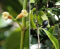 Alyxia stellata