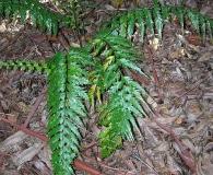 Asplenium acuminatum