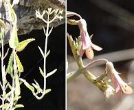Bryophyllum daigremontianum