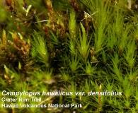 Campylopus hawaiicus