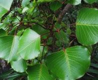 Cheirodendron platyphyllum