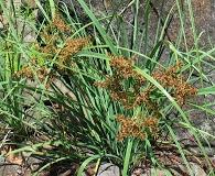 Cyperus javanicus