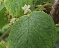 Cyrtandra cordifolia