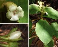 Cyrtandra platyphylla
