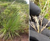 Eragrostis grandis