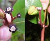 Euphorbia clusiifolia