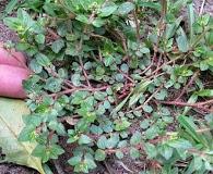 Euphorbia hirta