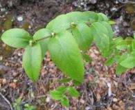 Euphorbia multiformis