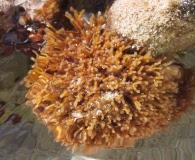 Galaxaura rugosa
