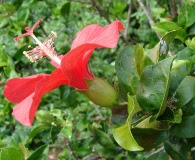 Hibiscus kokio