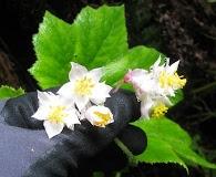 Hillebrandia sandwicensis