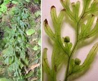 Hymenophyllum recurvum