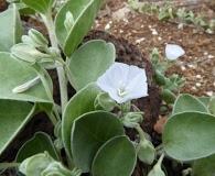 Jacquemontia ovalifolia