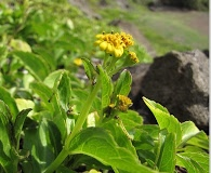 Lipochaeta succulenta
