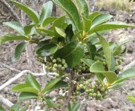 Myrsine lanaiensis