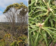 Myrsine linearifolia