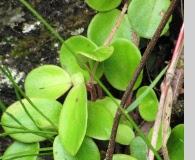 Peperomia latifolia