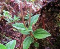 Peperomia macraeana
