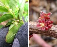 Phyllanthus distichus