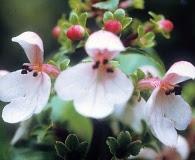 Phyllostegia glabra