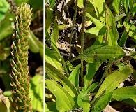 Plantago australis