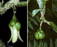 Platydesma spathulata