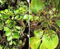 Polyscias oahuensis