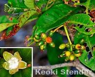 Psychotria hathewayi