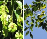 Pterocarpus indicus