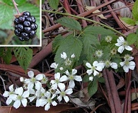 Rubus argutus