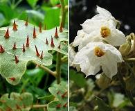 Solanum incompletum