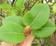 Zanthoxylum kauaense